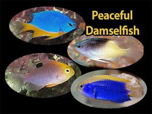 See All Types Of Damselfish