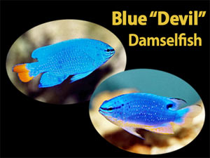 See all types of Damselfish