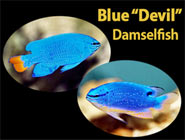 The Blue Devils, stunning but pugnacious damsels!