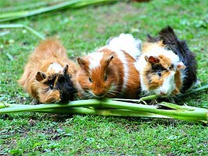 See different types of Guinea Pigs