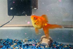 FEEDING 250+ GOLDFISH to My FISH!!! - YouTube
