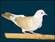Dove or Pigeon, what the heck are you?