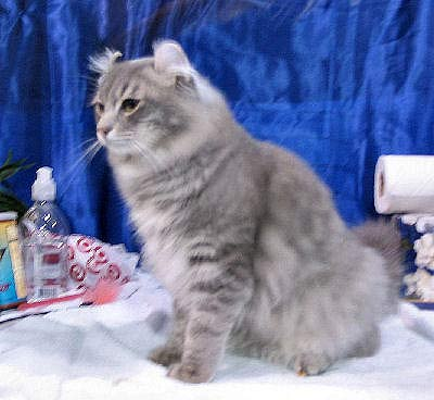 American Curl, shorthair, cat body-type mutation
