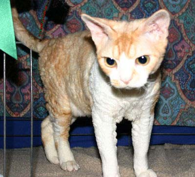 Devon Rex, nicknamed the Pixie Cat and Alien Cat