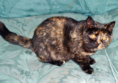 Tortoiseshell Cat, Tortoiseshell Color Pattern