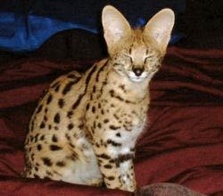 African Serval - Spunk-E