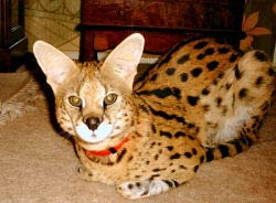 African Serval - Spook