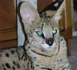 African Serval - Bubb