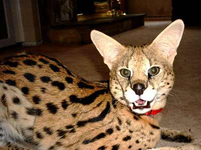 Serval, Leptailurus serval, an exotic cat