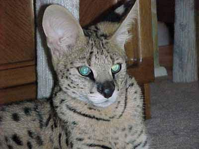 African Serval Photos, Pictures of Pet Serval Cats