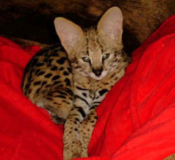 Serval cat image of Spunk-E