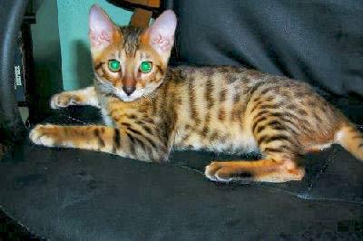 Bangal Cat, Bengals, Bengali Cats