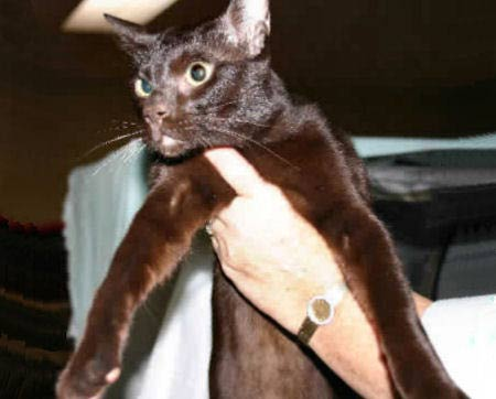 Havana Brown Cat, Chestnut Brown Foreign, Oriental Chocolate Cat