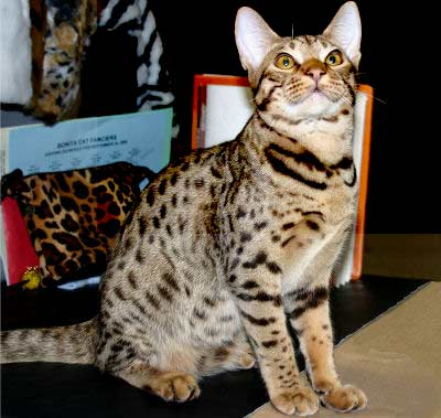 Ocicat, Hybrid cat breed