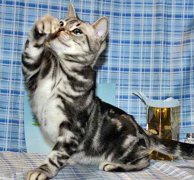American Shorthair Cat, Domestic Shorthair Cat Breed