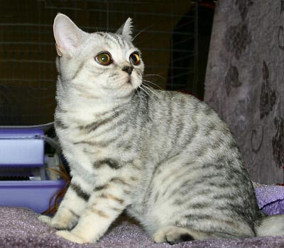 British Shorthair cat pictures, British Blue Cat, Chinchilla Shorthair