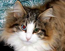 Natural Cat Breed, Norwegian Forest Cat