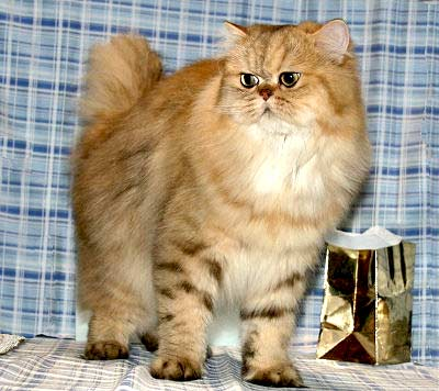 Persian Cat - Golden, Persian Longhair, Longhair Cat