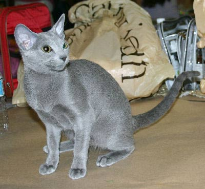 Russian Blue Cat, Archangel Cat, Foreign Blue Cat