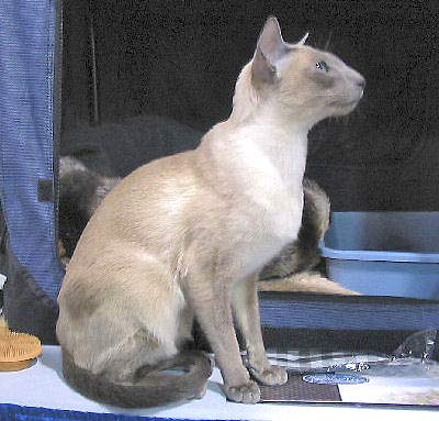 Siamese Cat, Palace Cat, Royal Siamese, Royal Cat of Siam