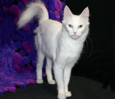 Turkish Angora, a natural breed cat