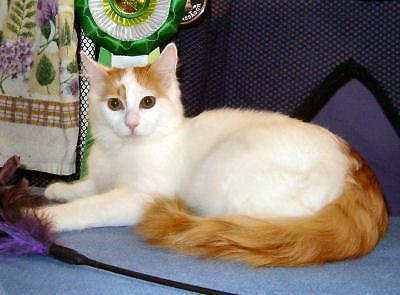 Turkish Van Cat Picture