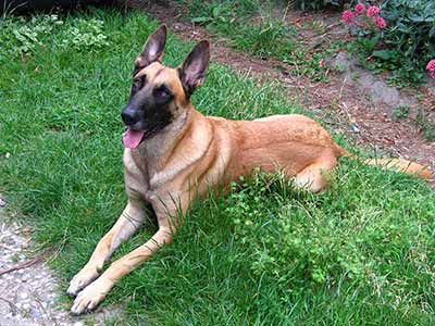Belgian Malinois Dog, Malinois, Belgian Shepherd Malinois, Mechelaar, Mechelese Herder