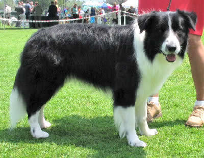 Picture of a Border Collie - Herding Dog