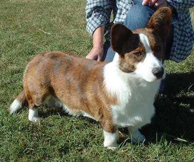 Cardigan Welsh Corgi also called Corgi, Welsh Corgi, Cardigan Corgi, and Cardi