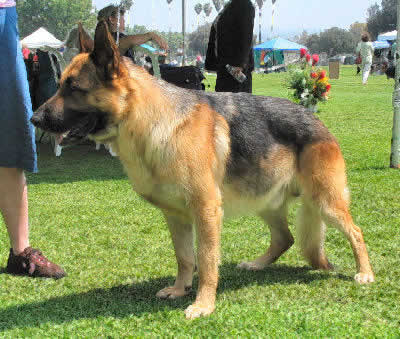 German Sheperd, Long Haired German Shepherd