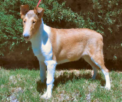 Collie, Smooth Collie Picture