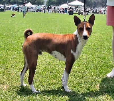 Basenji African Bush Dog