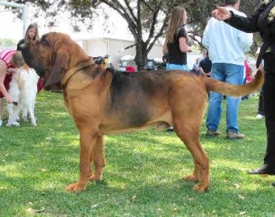 Bloodhound, also called St. Hubert Hound, Sleuth Hound, and Flemish Hound