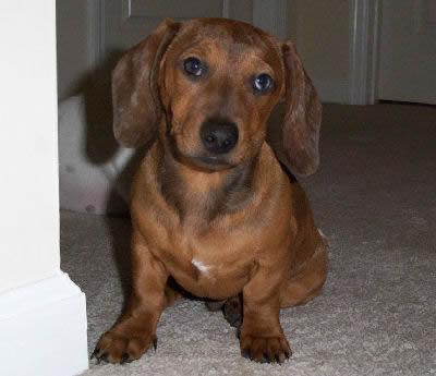 Dachshund, also called Doxie einer Dog, Hot Dog, and Worshond