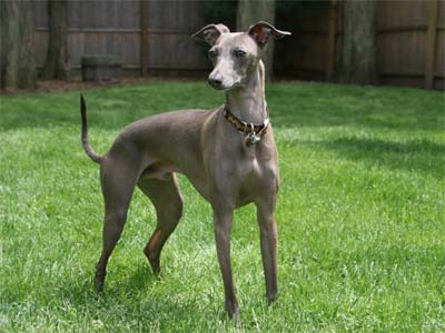 Italian Greyhound, also called Miniature Greyhound and Piccolo Levriero Italiano