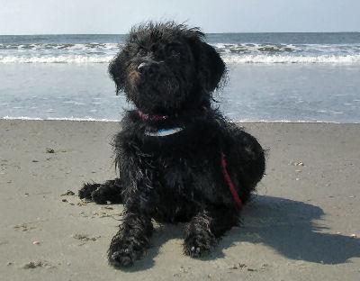 Labradoodle, Labrador Retreiver Poodle Hybrid Dogs