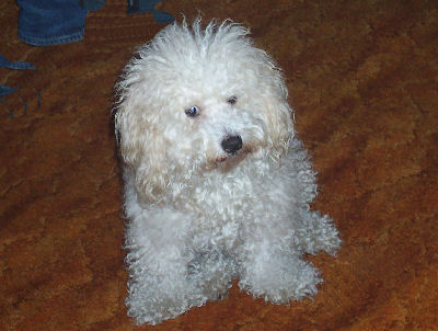 Schnoodle, Schnauzer Poodle MIxed Dogs