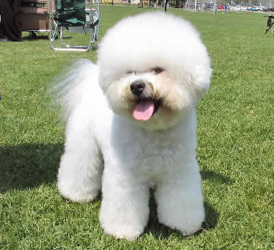 Bichon Frise, also called Bichon a Poil Frise and Bichon Tenerife