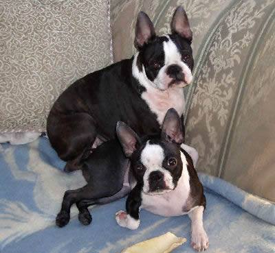 boston terrier boston bull boston bull terrier boxwood family canidae