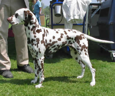 Dalmatian Picture, also called Firehouse Dog, Spotted Coach Dog, Carriage Dog, and Dalmatiner