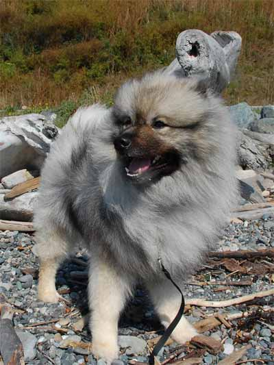 Keeshond Dog Picture, also called German Spitz, Dutch Barge Dog, Smiling Dutchman and Wolfsspitz