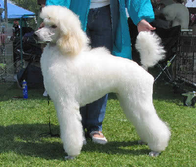Standard Poodle Picture