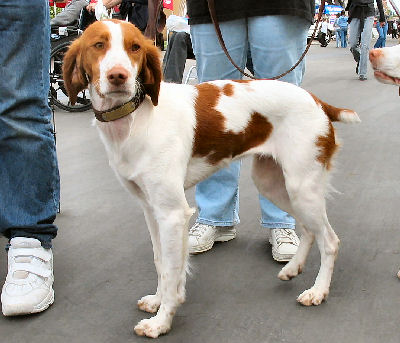 Brittany Spaniel Picture, also called American Brittany and Epagnuel Breton