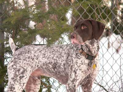 German Shorthaired Pointer, also called Pointer, Deutsch Kurzhaar, and