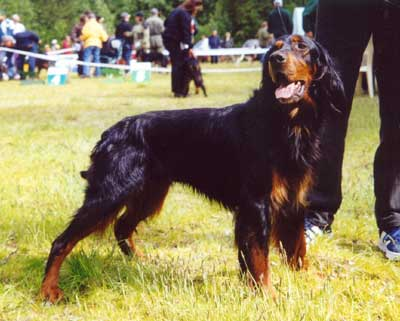 Gordon Setter picture, Black and Tan Setter