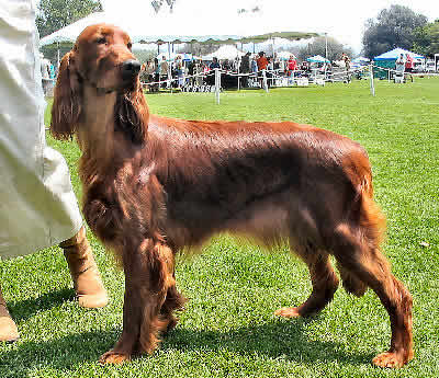 Irish Setter Picture, also called Red Setter and Irish Red Setter