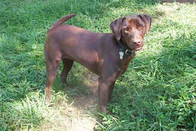 Labrador Retriever PIcture, Chocolate Lab