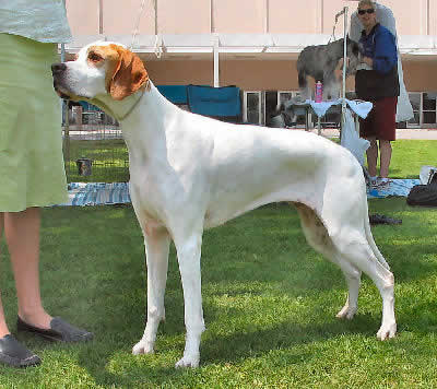 Pointer Picture, also called English Pointer