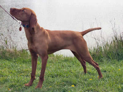Vizsla Picture, also called Hungarian Vizsla, Hungarian Pointer and Magyar Vizsla