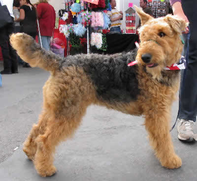 Airedale Terrier Picture, also called Airedale, Waterside Terrier and King of Terriers